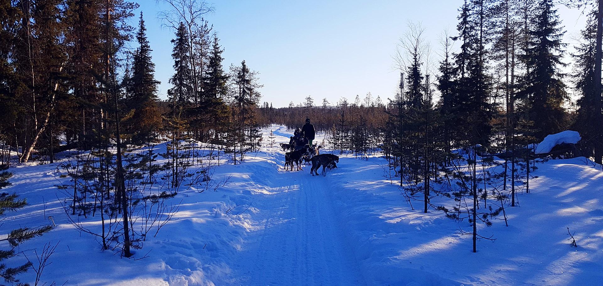 Laponia - przejazd psim zaprzęgiem